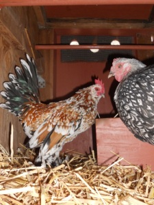 "Roosters will keep a hen company while she is on the nest laying her egg. (Photo: ""Zak & Zinnia"", ©Skyfeather Studio)"